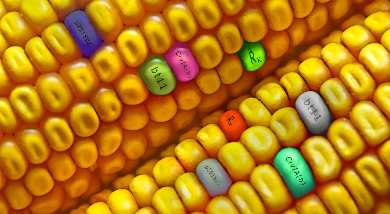Китай разрешит выращивание ГМО-кукурузы и сои