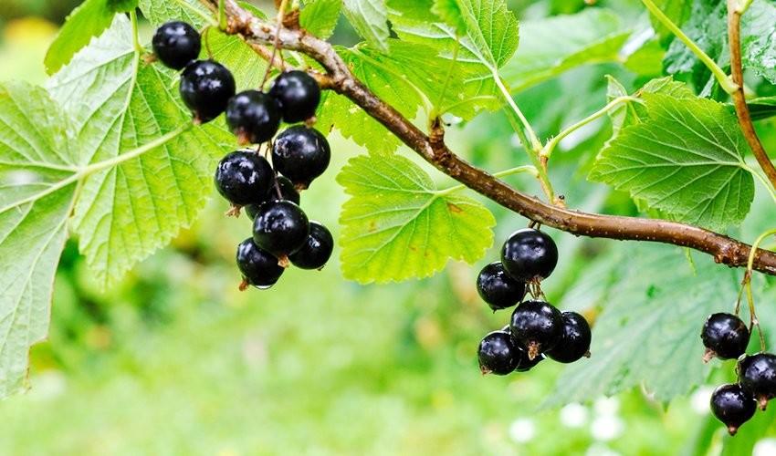 Селекционеры вывели новые зимостойкие сорта вишни и смородины – Sti...