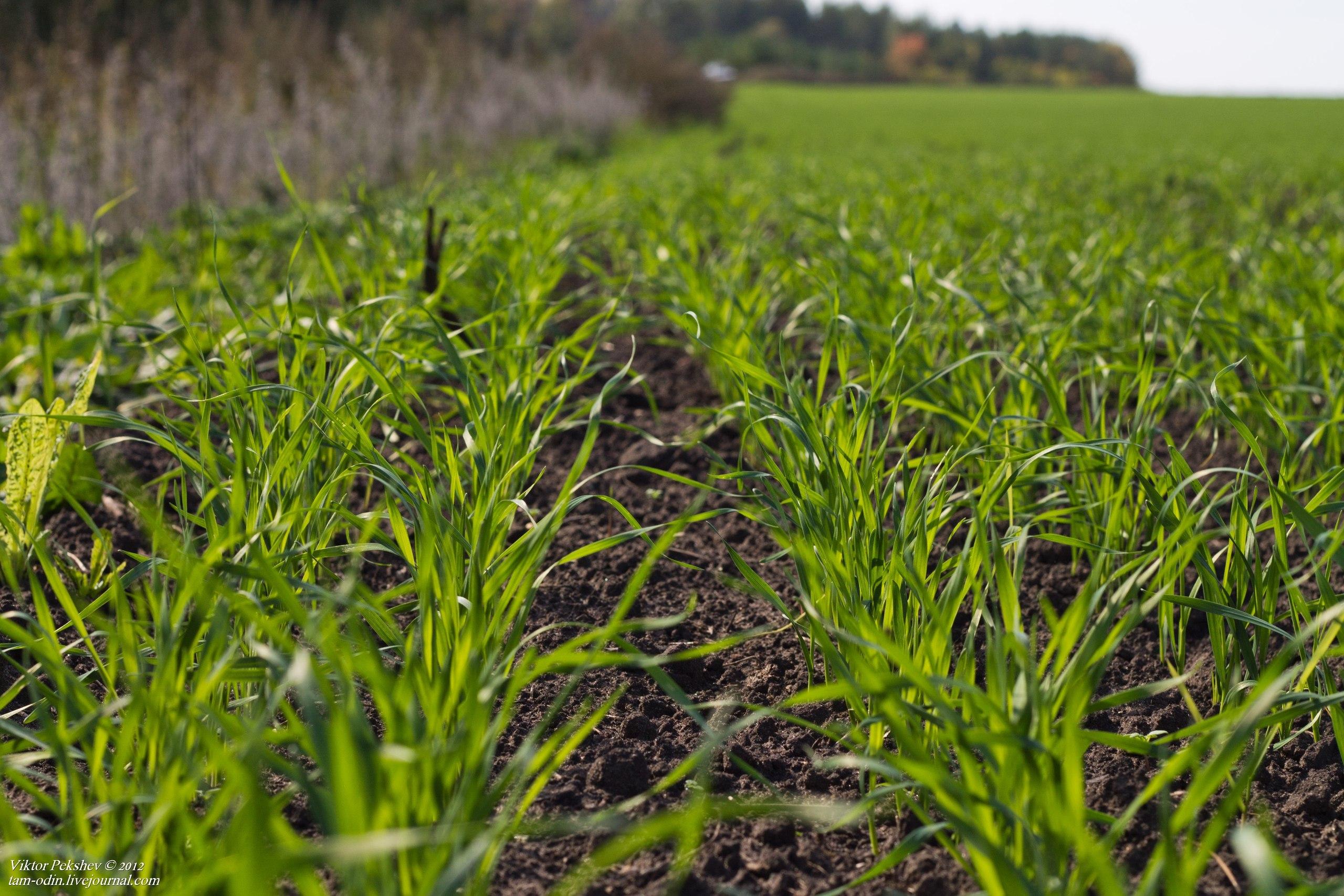 Картинки по запросу посев пшеницы